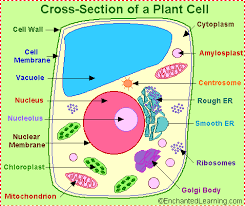 (http://tbn0.google.com/images?q=tbn:Ur_aV-PHdkgcZM:http://www.enchantedlearning.com/subjects/plants/cell/anatomy.GIF)
