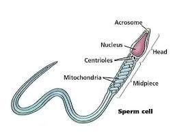 (http://tbn0.google.com/images?q=tbn:0d1GKw-fBA6dZM:http://www.infertilitybooks.com/onlinebooks/malpani/images/04b_sperm_cell.jpg)
