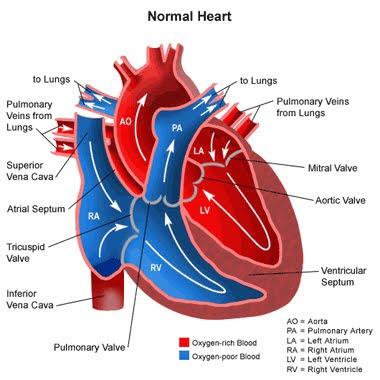 (http://4.bp.blogspot.com/_ToHbWM9Jnnc/Sqk-bfR_PBI/AAAAAAAADX8/4_Xb-8rzFLU/s400/Heart+Normal.jpg)