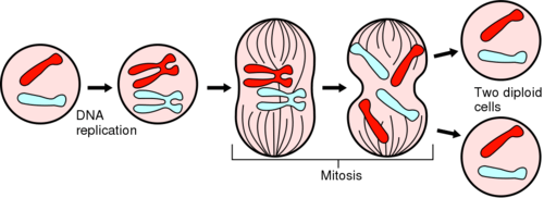 (http://static.diffen.com/uploadz/thumb/0/01/Mitosis-Phases.svg/500px-Mitosis-Phases.svg.png)