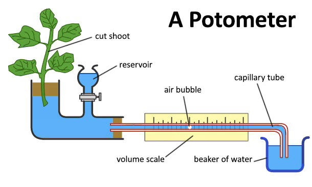 the water loss from leaves through stomata essay An experiment to investigate the water loss from leaves through stomata extracts  from this  related gcse green plants as organisms essays marked by a.