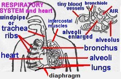 (http://www.docbrown.info/ks3biology/gifs/organs4names.jpg)