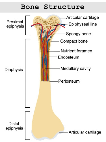 Structure of a long bone (http://www.buzzle.com/images/diagrams/human-body/structure-of-a-long-bone.jpg)