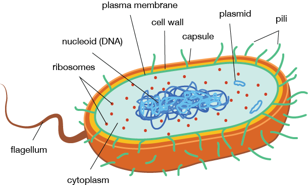 Image result for bacteria structure (http://www.medical-labs.net/wp-content/uploads/2014/03/Bacteria-Cell-Structure.png)