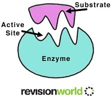 enzymes (http://revisionworld.com/sites/revisionworld.com/files/rw_files/enzymes%20copy_0.jpg)