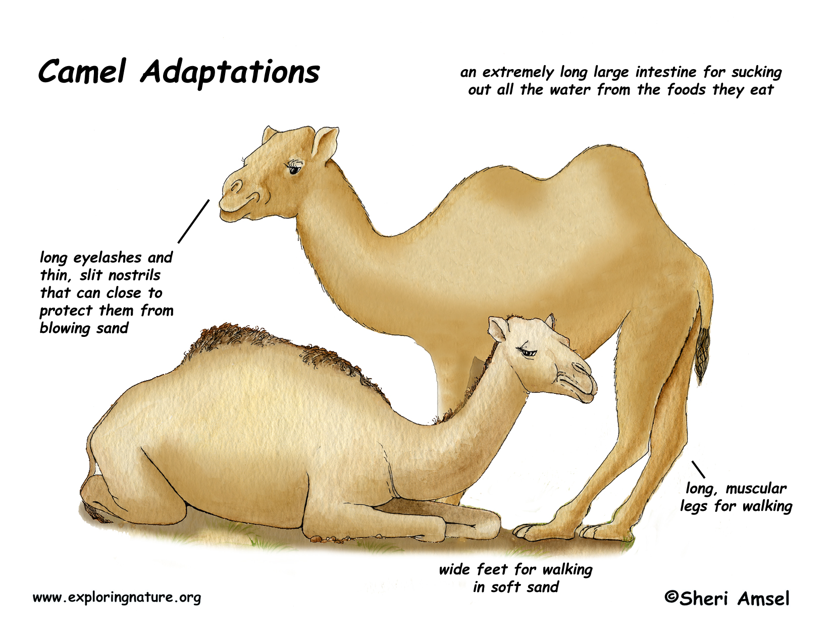 (http://www.exploringnature.org/graphics/in_habitat/adapation_camel.jpg)