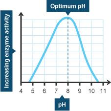 pH and enzyme activity (http://www.bbc.co.uk/schools/gcsebitesize/science/images/add_edex_bio_ph-chart.jpg)