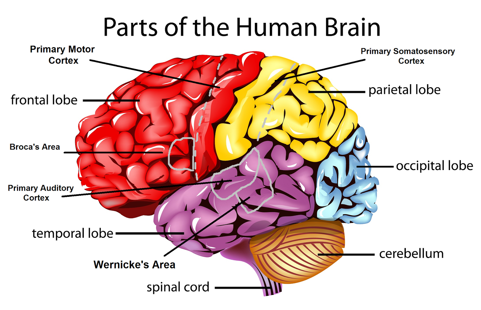 gcse psychology topic a revision cards in gcse psychology : the brain diagram gcse - findchart.co