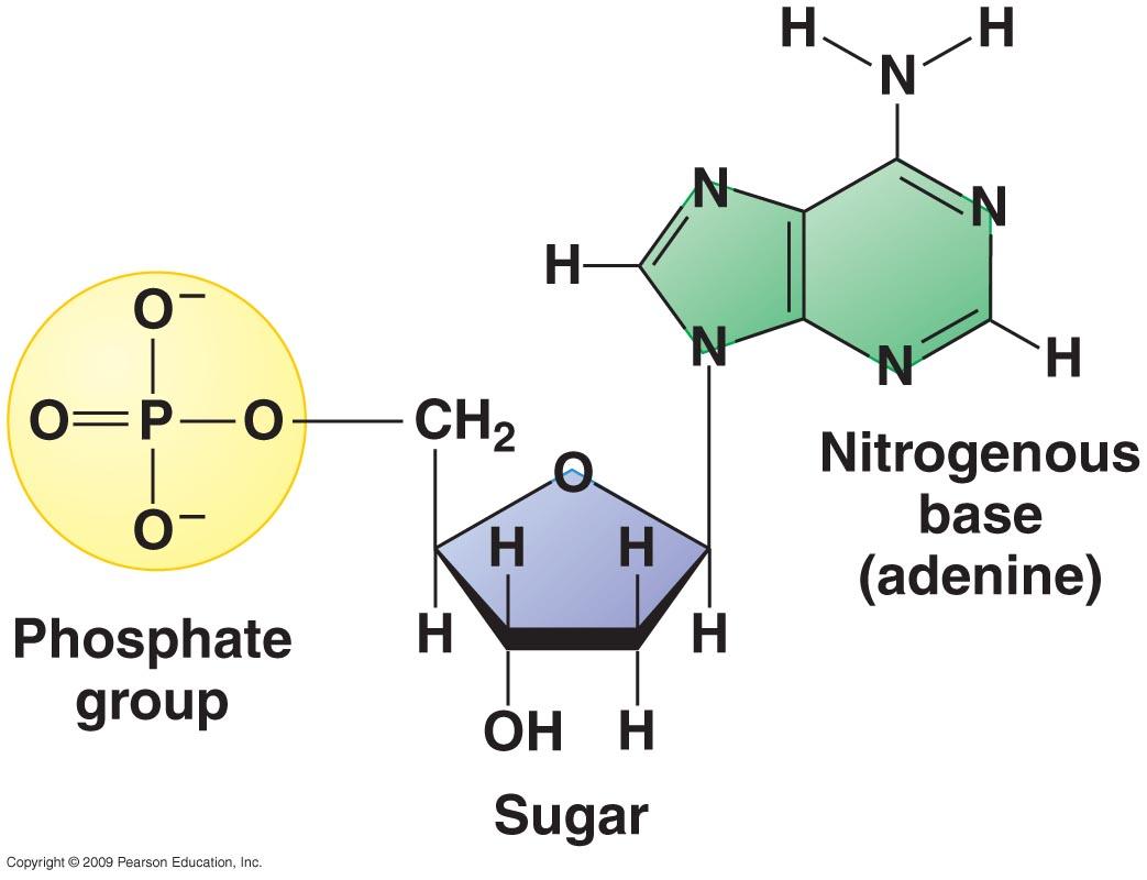 (http://2.bp.blogspot.com/-xPuNVM4cKX8/UWnyfXlVm2I/AAAAAAAAAGM/XsOazwduK9I/s1600/three+parts+of+nucleotide.jpg)