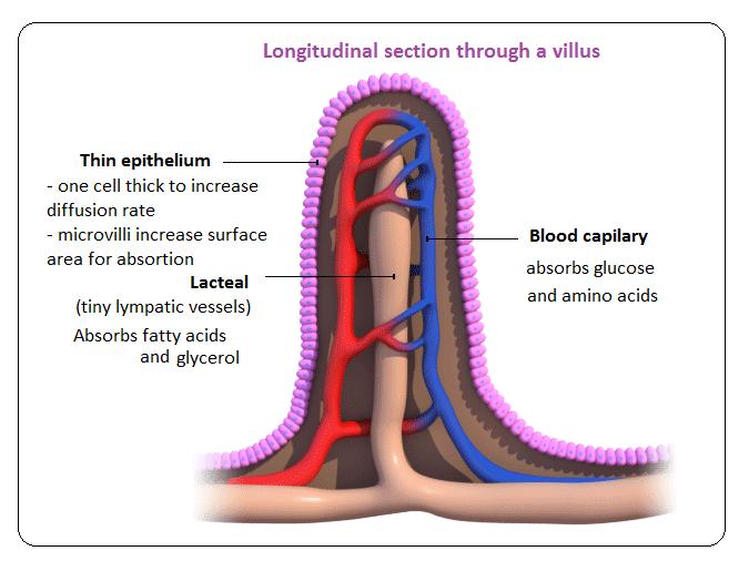 Picture (http://biology-igcse.weebly.com/uploads/1/5/0/7/15070316/7856072_orig.png)