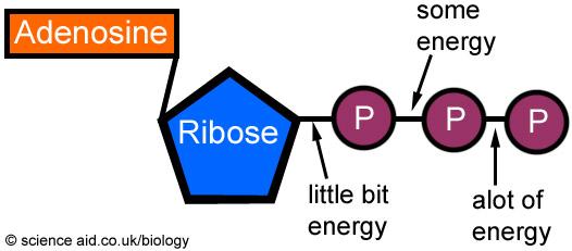 (http://scienceaid.co.uk/biology/biochemistry/images/atp.jpg)