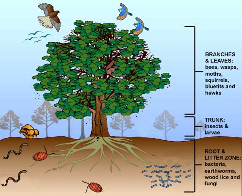 Branches and leaves: bees, wasps, moths, squirrels, bluetits and hawks. Trunk: insects and larvae. Root and litter zone: bacteria, earthworms, wood lice and fungi. (http://www.bbc.co.uk/schools/gcsebitesize/science/images/bioaktree.jpg)