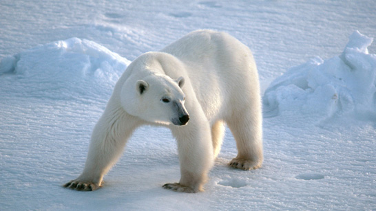 (http://www.bbc.co.uk/schools/gcsebitesize/science/images/spl_polarbear.jpg)