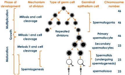 (http://2.bp.blogspot.com/-m62DvrCePWI/UP8w5vEYz5I/AAAAAAAAA7k/fcu9kLUsxwY/s1600/spermatogenesis-spermiogenesis-process-gametes.jpeg)