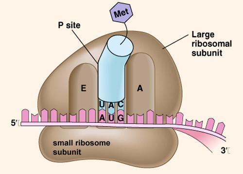 (http://sgugenetics.pbworks.com/f/1269663451/1269891067/ribosome.jpg)