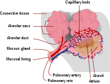 (http://upload.wikimedia.org/wikipedia/commons/thumb/4/46/Alveolus_diagram.svg/220px-Alveolus_diagram.svg.png)