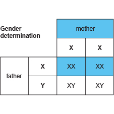 Gender determination (http://www.bbc.co.uk/staticarchive/5982926e99d3dbb2f3d014edc03f848a52200ca9.jpg)