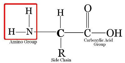 (http://upload.wikimedia.org/wikipedia/commons/thumb/c/c9/Amino_Acid.JPG/400px-Amino_Acid.JPG)