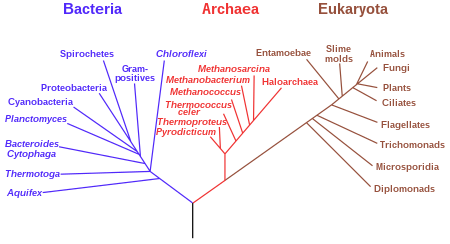 (http://upload.wikimedia.org/wikipedia/commons/thumb/7/70/Phylogenetic_tree.svg/450px-Phylogenetic_tree.svg.png)