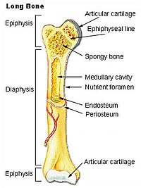 (http://upload.wikimedia.org/wikipedia/commons/thumb/9/94/Illu_long_bone.jpg/200px-Illu_long_bone.jpg)