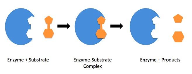 (http://upload.wikimedia.org/wikipedia/commons/f/fc/Enzyme_mechanism_1.jpg)