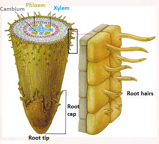 (http://2.bp.blogspot.com/-2H3Voq43Yvk/UYS8MfHuJRI/AAAAAAAAB9k/XKEJI9DPXj4/s1600/root+hair+cell+3.png)
