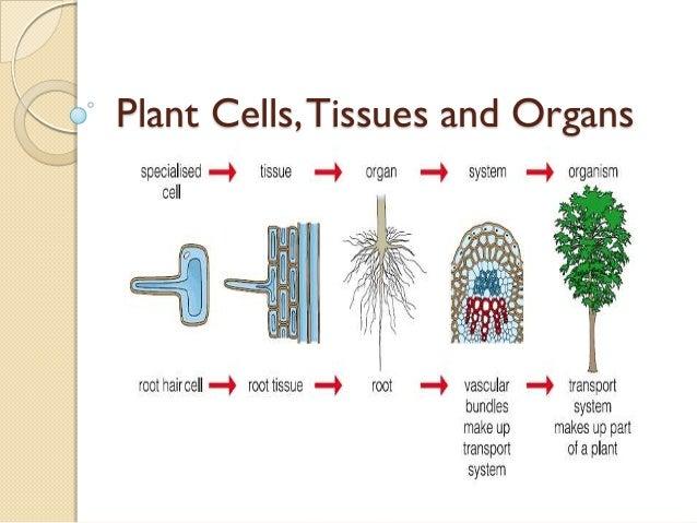 (http://image.slidesharecdn.com/05plantcellstissuesandorgans-131023085614-phpapp01/95/05-plant-cells-tissues-and-organs-1-638.jpg?cb=1382518652)