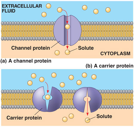 (http://physiologue.files.wordpress.com/2011/11/channel-protein-vs-carrier-protein.jpg)