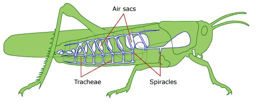 (http://www.funscience.in/images/StudyZone/Biology/Respiration/RespirationInInsects.jpg)