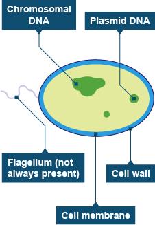 Bacteria cell structure diagram (http://www.bbc.co.uk/schools/gcsebitesize/science/images/add_edex_bio_bacteria.jpg)