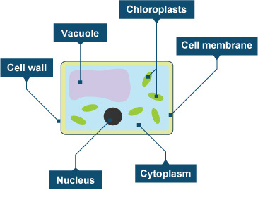 Diagram of a plant cell (http://www.bbc.co.uk/staticarchive/62c15b1c5544423cf2a9af13f5a913e4c237c3e1.jpg)
