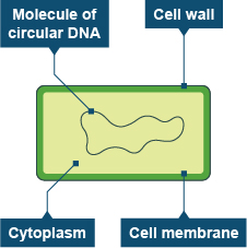 Diagram of bacterial cell (http://www.bbc.co.uk/staticarchive/0b398673bbf5ca2a2788756bc9d8c76da87b8678.jpg)