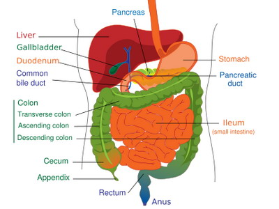 (http://www.allhealthsite.com/wp-content/uploads/2010/02/digestive-system-diagram.jpg)