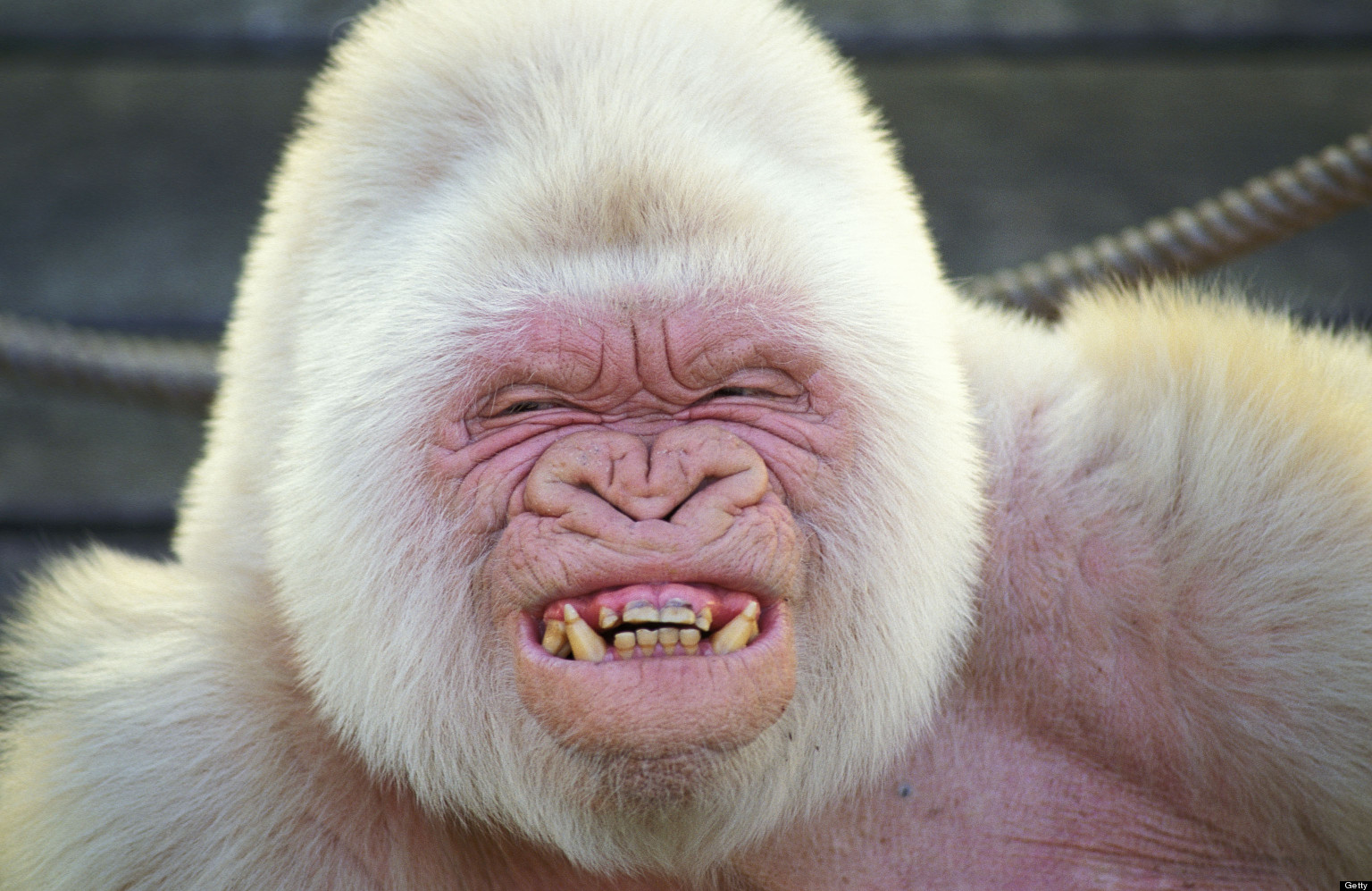 Image result for snowflake the white gorilla (http://1.bp.blogspot.com/-IWTKZlfUS9M/UcBfP0i2wKI/AAAAAAAAXsk/2buMs-u5y0g/s1600/snowflake-gorilla-barcellona-zoo.jpg)