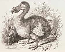 The Dodo, a distant relative of the pigeons, is heavily-built, roughly the size of a swan and flightless (http://www.bbc.co.uk/schools/gcsebitesize/science/images/bidodo_226.jpg)
