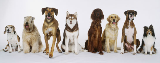 Image showing dogs sitting in a line. They are all bred from a common ancestor (http://www.bbc.co.uk/schools/gcsebitesize/science/images/21c_theoryevolution_dogs.jpg)