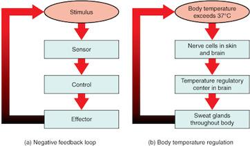 Image result for negative feedback (http://study.com/cimages/multimages/16/diagramnegativefeedbackloop.jpg)