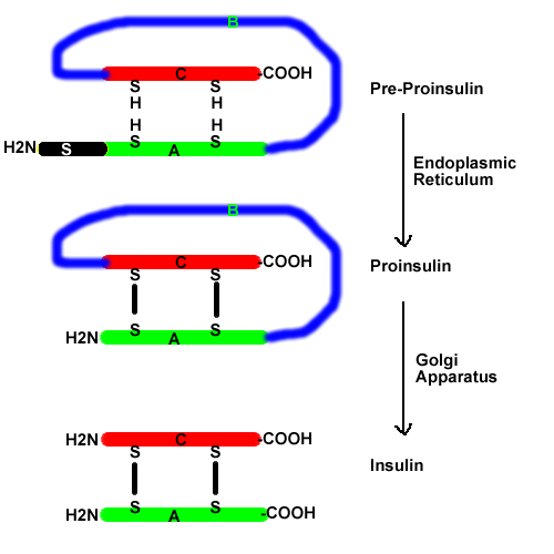 (http://biochem.co/wp-content/uploads/2008/08/biosynthesis-of-insulin.png)