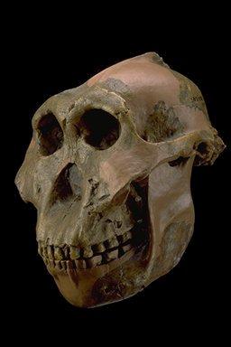 (http://www.columbia.edu/itc/anthropology/v1007/2002projects/web/paranth/boisei.jpg)