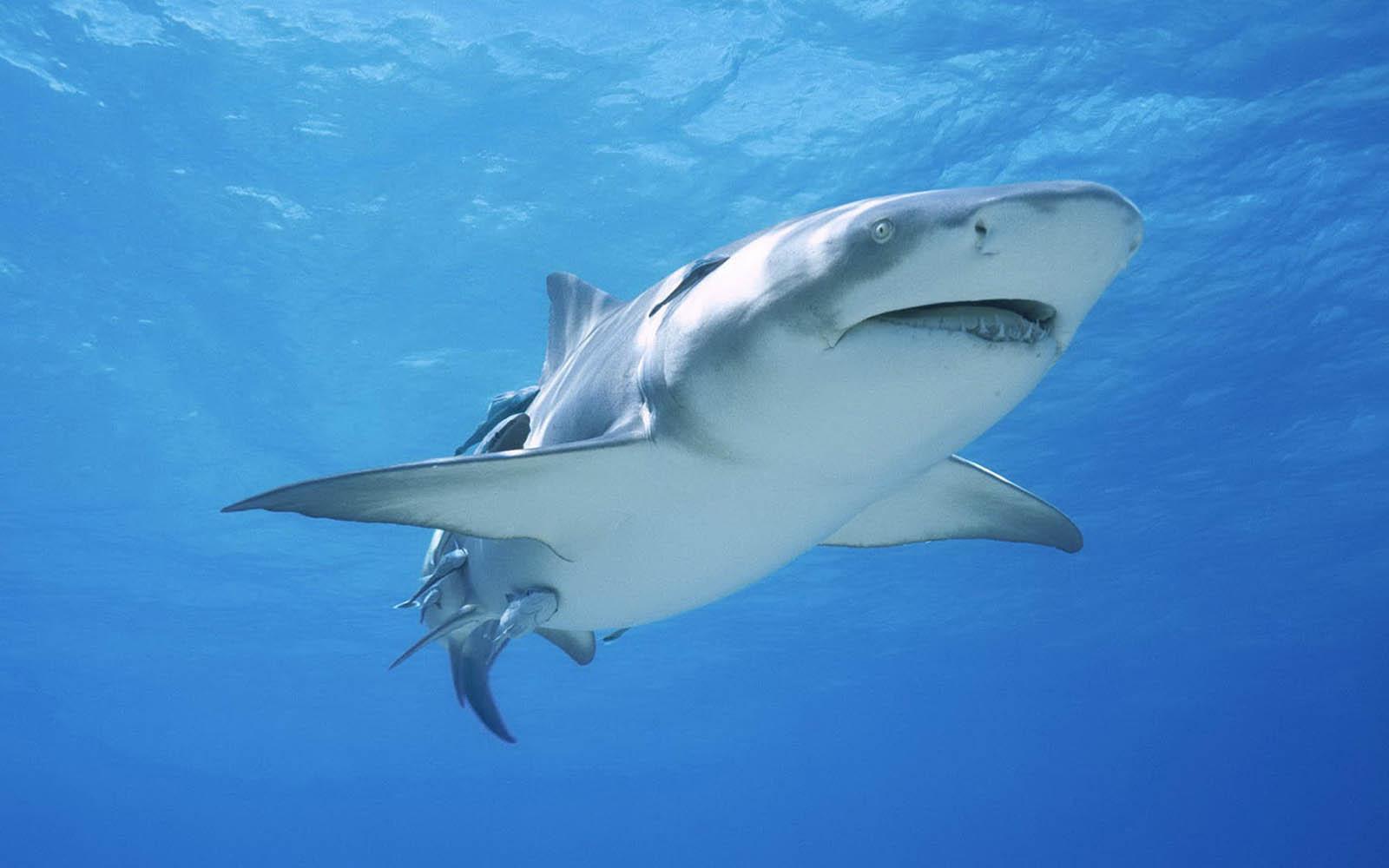 (http://3.bp.blogspot.com/-jbe2HIAUB_U/UI6Au4WYt5I/AAAAAAAAMZ8/Oeyzhd0wL8Q/s1600/Shark+Wallpapers+1.jpg)