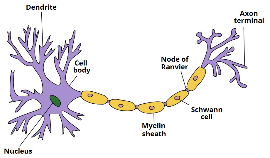 (http://teachmeanatomy.info/wp-content/uploads/Structure-of-a-Neurone.jpg)