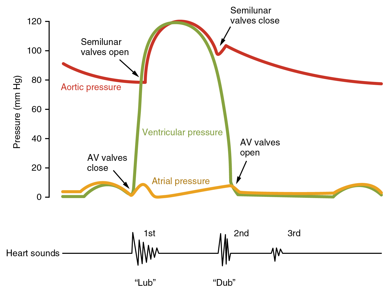 (http://archive.cnx.org/resources/7804d1b41124c96078af2e71ca12940b8488747e/2029_Cardiac_Cycle_vs_Heart_Sounds.jpg)