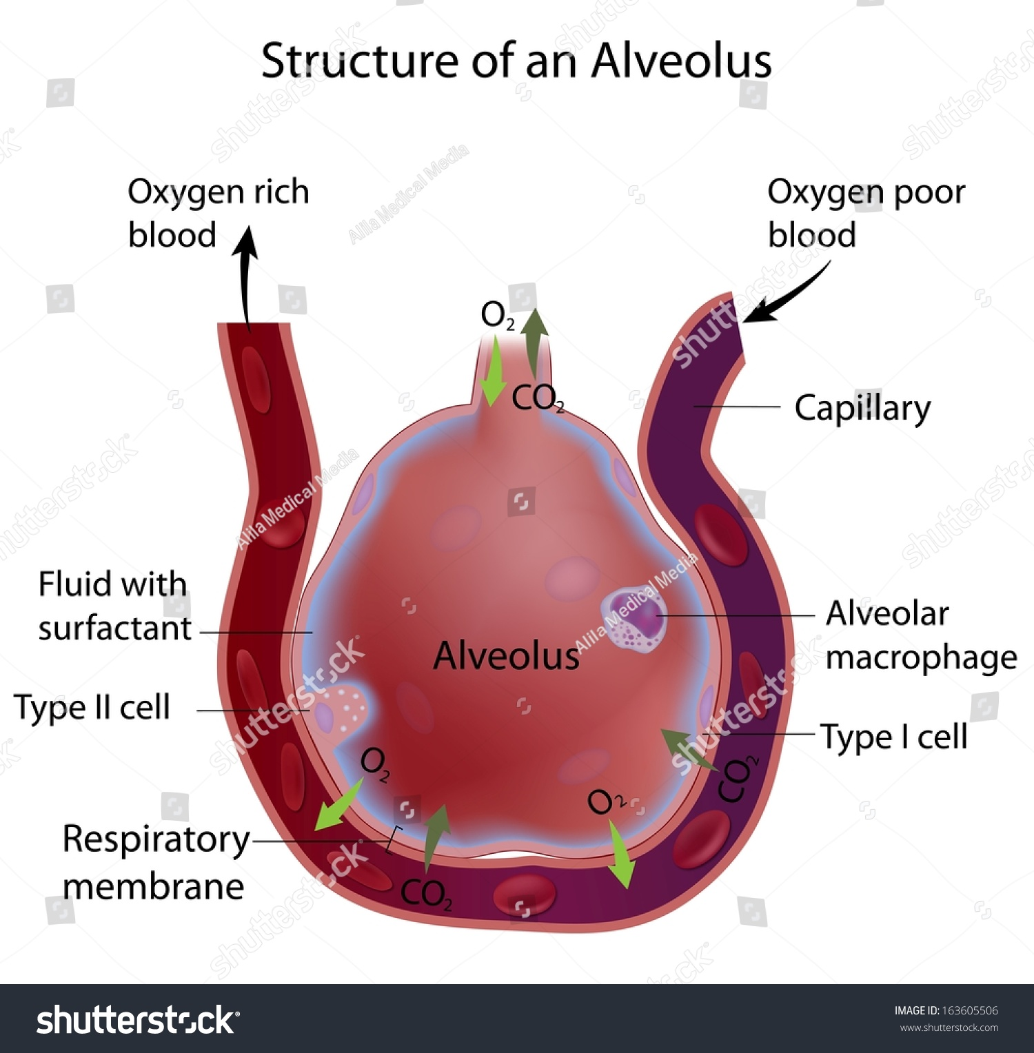 (http://image.shutterstock.com/z/stock-photo-structure-of-an-alveolus-163605506.jpg)