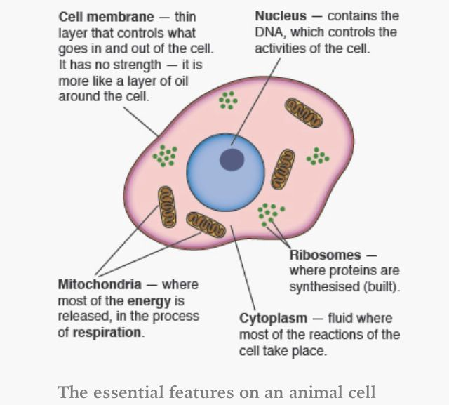 Biology cells tissues and organs revision cards in gcse biology image result for gcse animal cell diagram labeled httpmedia cache ccuart Choice Image