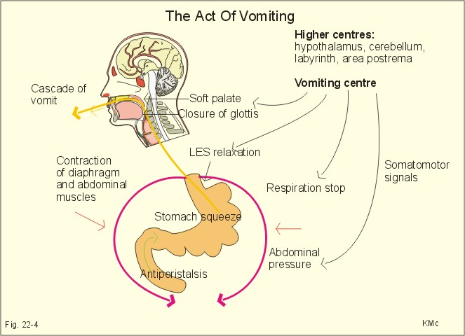 Image result for vomiting centre and somatostatin signals (http://www.zuniv.net/physiology/book/images/22-4.jpg)