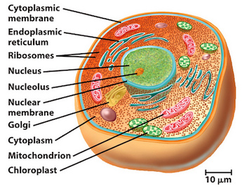 Image result for eukaryotic cell (http://study.com/cimages/multimages/16/11820433176_5465c3cc03.jpg)