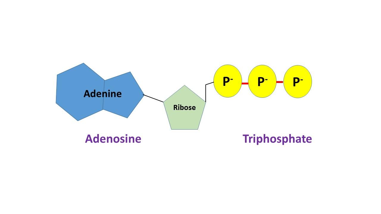 (http://study.com/cimages/multimages/16/ATP.jpg)