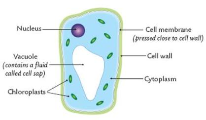 Image result for the main parts of a plant cell (http://mrshscience.weebly.com/uploads/1/4/5/6/14566620/922316497.jpg?418)
