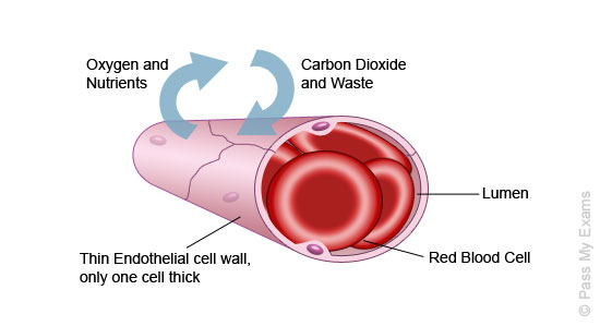 Image result for capillaries cross section (http://www.passmyexams.co.uk/GCSE/biology/images/capillaries_new.jpg)
