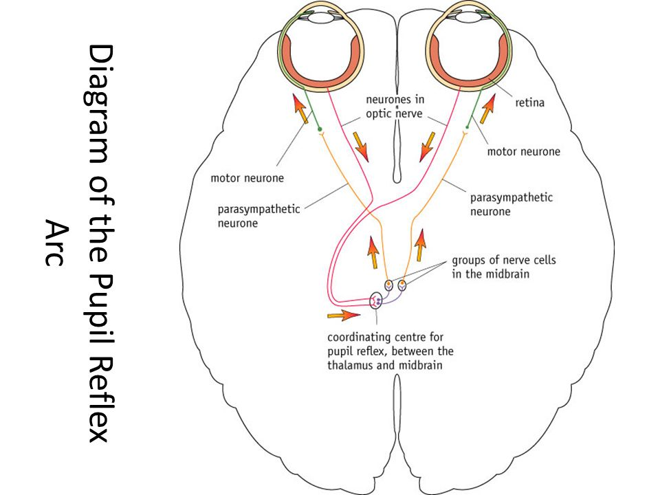 Image result for pupil reflex (http://slideplayer.com/9489093/29/images/30/Diagram+of+the+Pupil+Reflex+Arc.jpg)